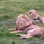 Lions in rehabilitation centre