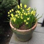 Lovely Daffodils on the patio. Spring is in the air!