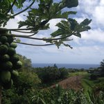 Fruit trees & ocean view
