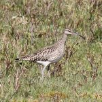 Whimbrel by Loch Spelve