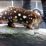 A beatiful quoll