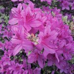 Visitors during the month of May are greeted by bright and beautiful azaleas that adorn the prop