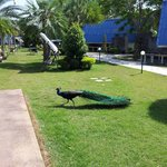 Local peacock owns the resort
