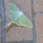 Luna moth on the patio