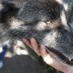 Shy Wolf Sanctuary: It doesn't get any more hands on than this.