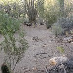 Desert cottontail viewed from patio