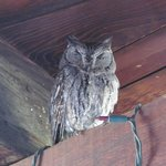 Western Screech-owl under eaves of Inn