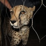 Samira the beautiful 16yr old cheetah