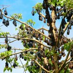 Charters Towers fruit bats