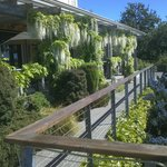 White wisteria blooming on the terrace.