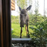 moose outside the window