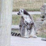 Lemur Island, she had a couple hitchikers last time we went... it was a baby boom!