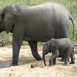 Mama & baby...part of a herd, just out of arms reach!!