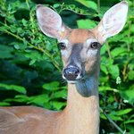 White-Tailed Deer at Cook Forest State Park
