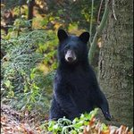 Black Bear from Cook Forest State Park area