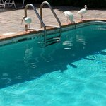 Ibis at the pool