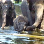 Baby elephant swim time
