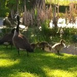 The Geese with their babies.. So adorable!