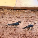 swallows taking reprieve from heat