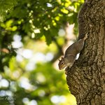 Squirrel in the oak