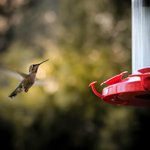 Multiple humming birds feed at the deck