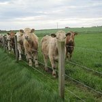 Steers along the lane to the cottages greeting us