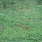 Deer seen from room balcony in early morning