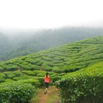 Tea plantations near Royal Mist