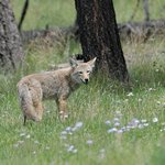 Coyote on Black Snake road
