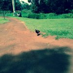 golf course chickens and roosters