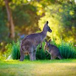 The resident roo