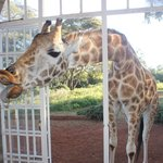 Giraffe Manor Foto