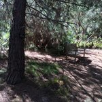 Bench in an area full of pine trees.