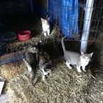 The cats and kittens in the barn