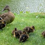 Ducks & Ducklings