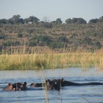 Hippos on the River