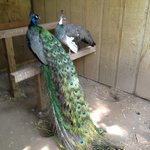 Manly Pointer, head peacock
