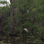 Great Blue Heron on Caddo Lake