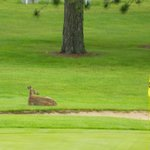View from our room-deer on the 9th green