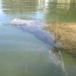 manatee coming up for air