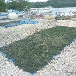 Seaweed drying before export.