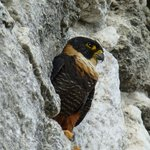 Male Orange-Breasted Falcon
