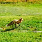 A fox just behind our room!