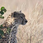 Cheetah sitting under a tree at the top of a hill in the morning