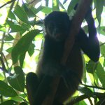 Howler Monkey at Hotel