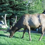 Elk in our backyard