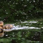A New Duckling on the Pond
