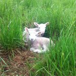 Twin lambs snuggling in the grass