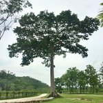 This grand Ciebe Tree grows outside the Belcampo Farm Center, and has been the setting for weddi
