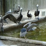 Pelicans at Suncoast Seabird Sanctuary, they had TONS of them.